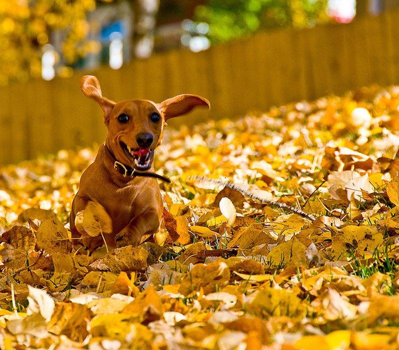 Осень, словно рыжая собака...